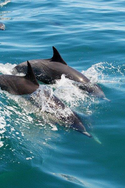 Dolphins-California-Whale-Watching-Tour
