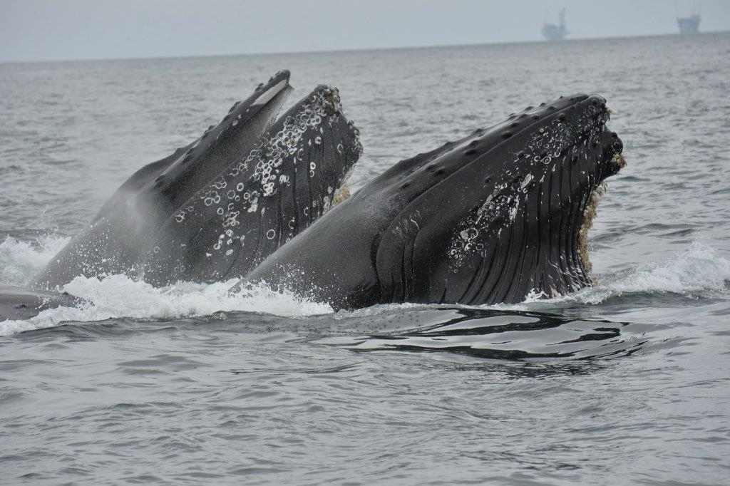 Whale-Watching-Double-Breach-Santa-Barbara