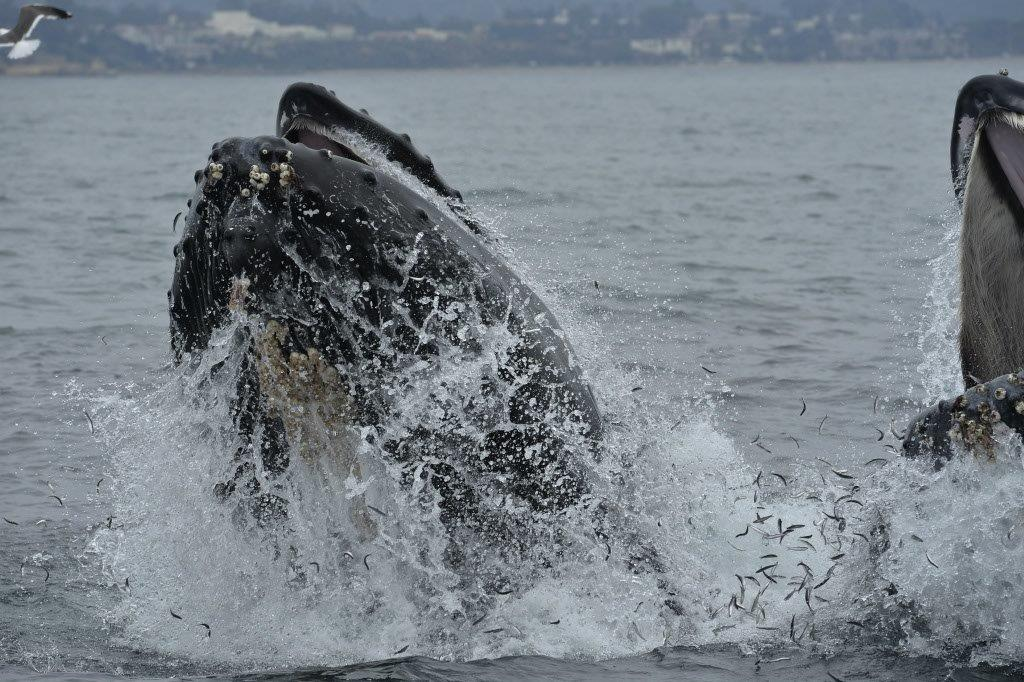 Whale-Watching-Doubles-Breach-Santa-Barbara