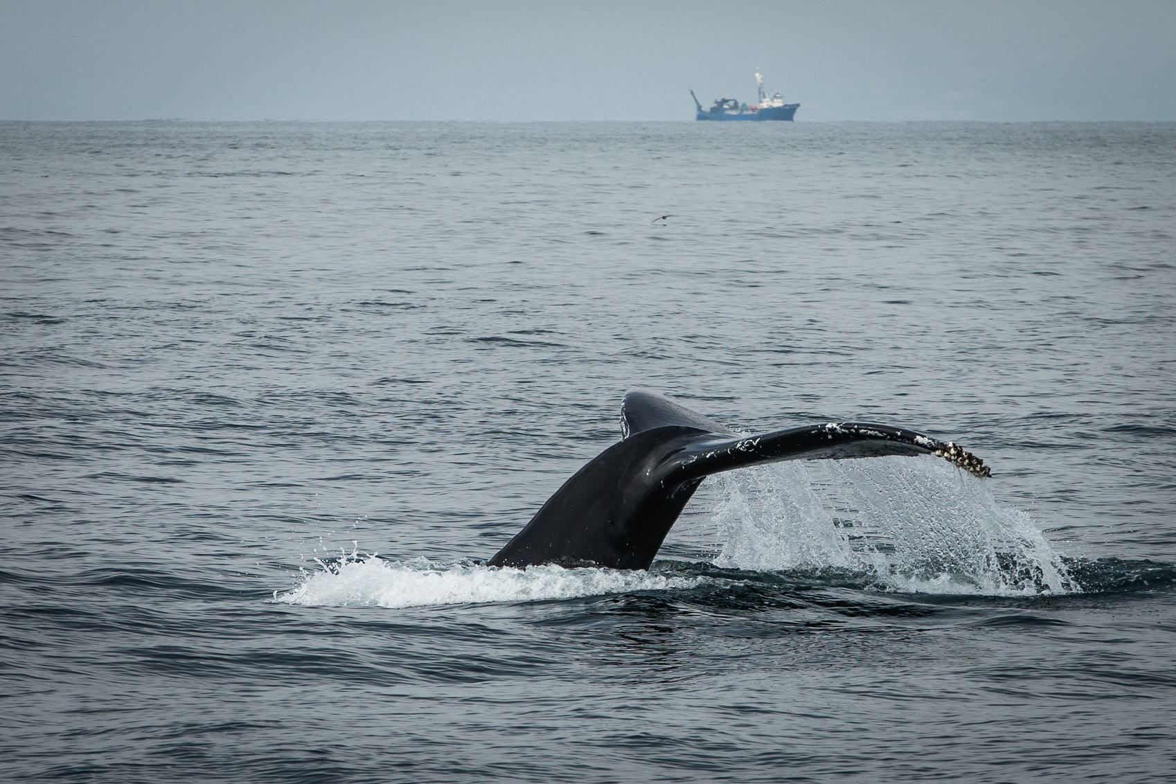 A whale's tail shows out of the water in the ocean and a large boat sits in the distance